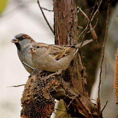 Az 5 legfontosabb növény, amely eleséget biztosít a madaraknak télen a kertben