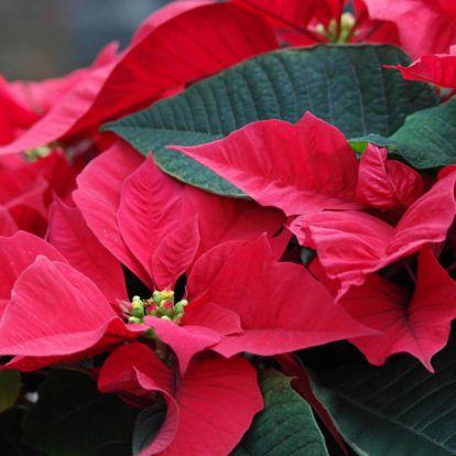 Így borul újra virágba a mikulásvirág – nem is olyan ördöngösség