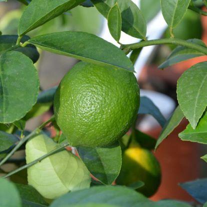 A citromfák helyes metszése: egy kicsit segítsünk a természetnek
