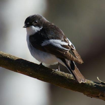 A klímaváltozás miatt madarat ölnek és agyat esznek a széncinegék