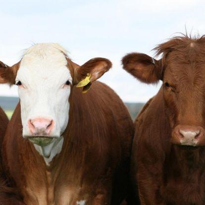 Már a tehenek is társra lelhetnek a neten
