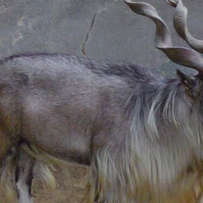 Gyűlöli a net: hatalmas összeget fizetett egy amerikai vadász, hogy lelőhessen egy különleges kecskét