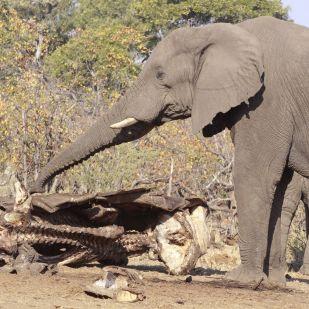 Mit csinál az elefánt, amikor úgy tűnik, hogy gyászol?