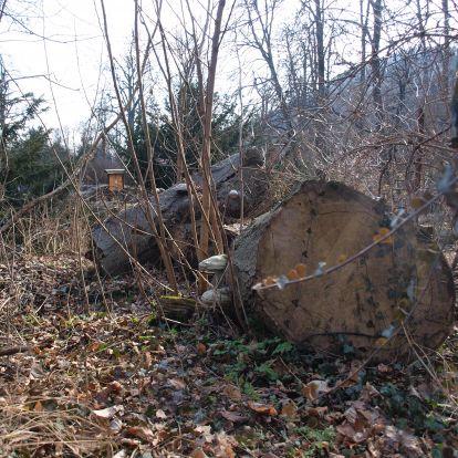Bükkfa és áhítat: faóriások nyomában a Szépjuhásznén