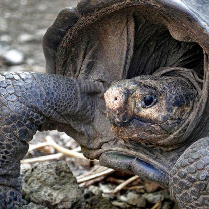 Kihaltnak hitt óriásteknőst találtak a Galapagos-szigeteken