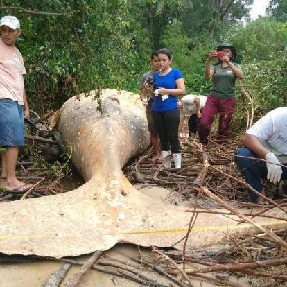 Hogy került egy bálna az esőerdőbe?