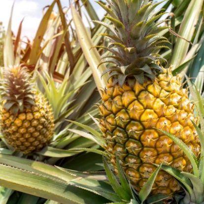 Ha így eszi az ananászt, nem fog megőrülni a pucolástól