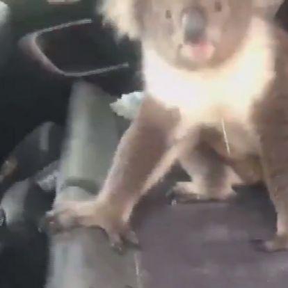 Eközben Ausztráliában: nyitva hagyta a kocsi ajtaját, beköltözött egy koala! – VIDEÓ