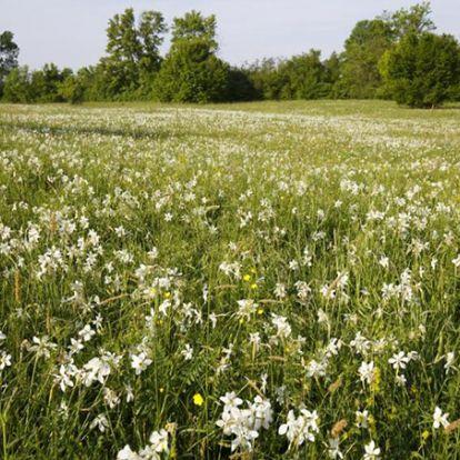 Hamarosan virágba borul Európa legnagyobb nárciszmezője Babócsán