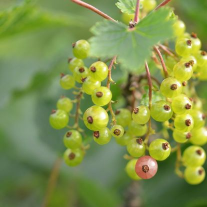 A te kertedben is helye van őseink növényének - A köszméte bemutatása