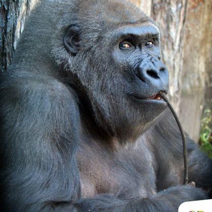 42 éves lett Liesel, az Állatkert gorillamamija