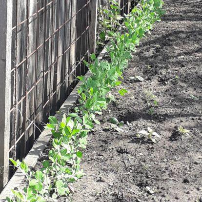 Zöldborsó termesztése
