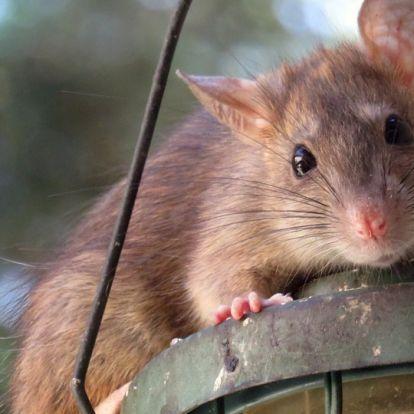 Tarlós István: nincs járványveszély a patkányok miatt