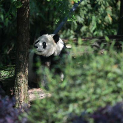 Bedurvult a pandadiplomácia: Kína visszavette a San Diegó-i állatkert pandáit