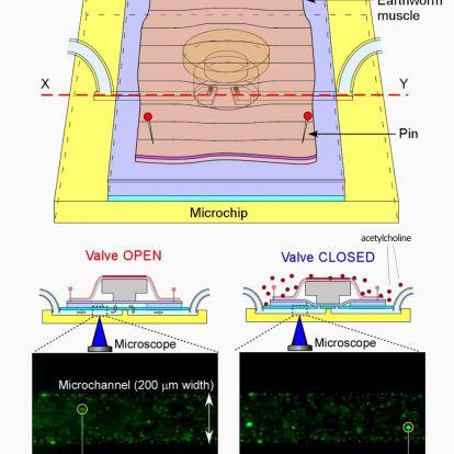 Földigiliszta izomzatával működtettek egy mikrochipet japán kutatók