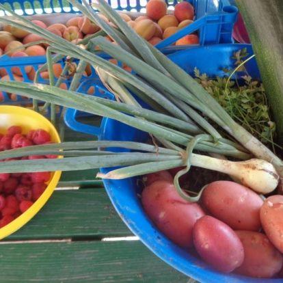 A zsákban termesztett krumpli és az öreg sárgabarackfa története
