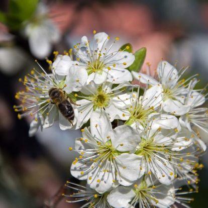 Extrém magas lehet a pollenkoncetráció