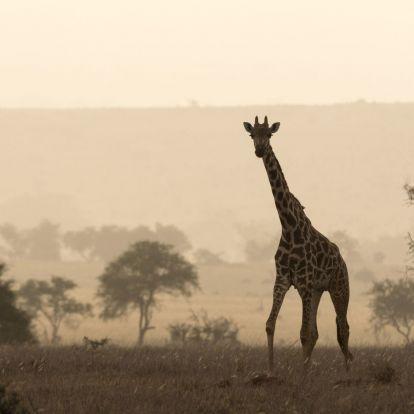 Megszavazták, veszélyeztetett faj lesz a zsiráf