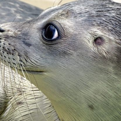 Heroikus küzdelemben szedtek le egy fóka nyakára szorult gumiabroncsot az állatvédők
