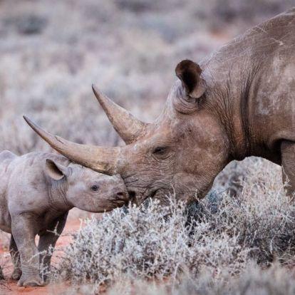 Egyre kevesebb orrszarvú esik vadorzók áldozatául a Dél-afrikai Köztársaságban
