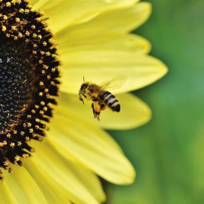 A világ legfontosabb élőlényeivé nyilvánították a méheket!