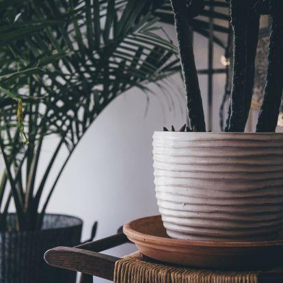 Szobanövények gyógyítása: a pajzstetű