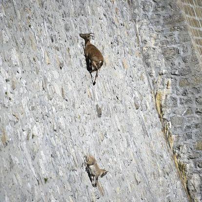 A kőszáli kecskék könnyedén mozognak a szinte függőleges gátakon is