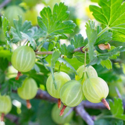 Itt az ideje a gyümölcsbokrok telepítésének!