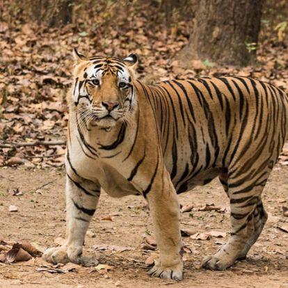 A leghosszabb menetelés – 1300 kilométert tett meg néhány hónap alatt egy tigris Indiában
