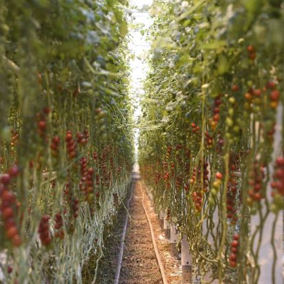 Tomato Seeds from Space Sown in Hungarian Greenhouse