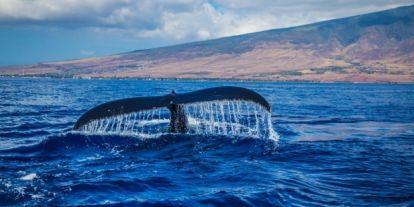 Az óceánvíz melegedése miatt egyre nagyobb a hajók és a bálnák ütközéseinek kockázata