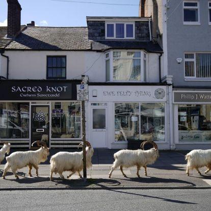 Kasmírkecskék szórakoztatják egy walesi város karanténban lévő lakosait