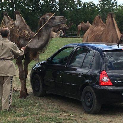 Amikor elefánt és teve kéreget a kocsi mellett