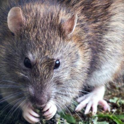 Itt a lista, hol van a legtöbb patkány a fővárosban!