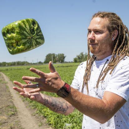 Kocka alakú görögdinnyét termeszt egy magyar gazda