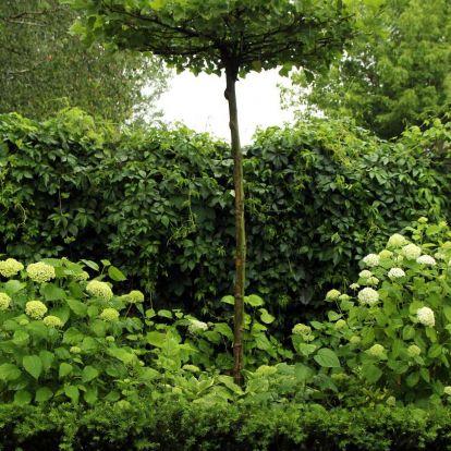 Augusztus a Griff Pagonyban: a kert királynője, a hortenzia