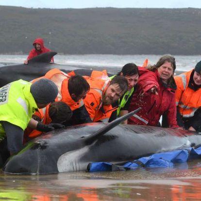 Homokpadok csapdájába esett delfineket mentenek a tasmán partoknál