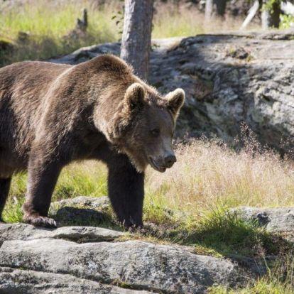Autójába kergetett be egy horgászt a medve Egerszalóknál