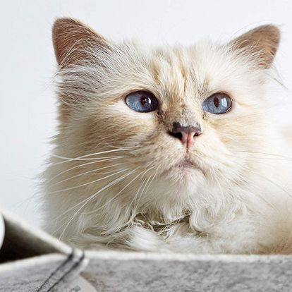 Karl Lagerfeld's cat Choupette has branched out into the world of pet furniture