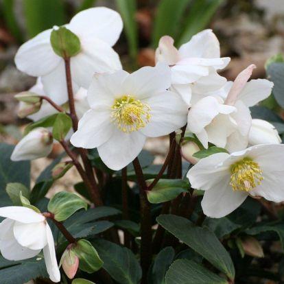 Karácsonyi rózsa: szépséges téli virágözön a kertben vagy az erkélyen