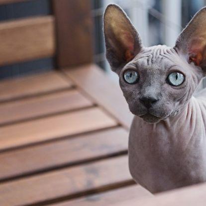Sziámitól a szfinxig: ilyen macska illik hozzád a csillagjegyed szerint