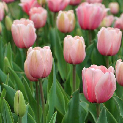 Kezdődik a tulipánszüret – 3 hely, ahol tulipánok között sétálhattok és szedhettek is