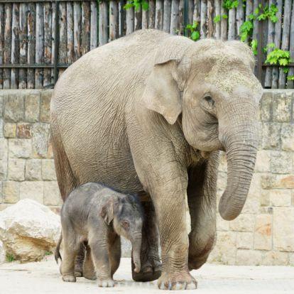 Megszületett a várva várt kiselefánt a budapesti állatkertben