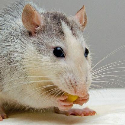 Patkányok támadják a Teslákat, mutatjuk, hogy miért!