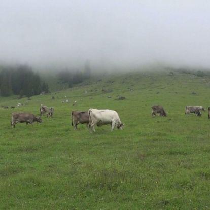 Lehajtották a marhákat a hegyről