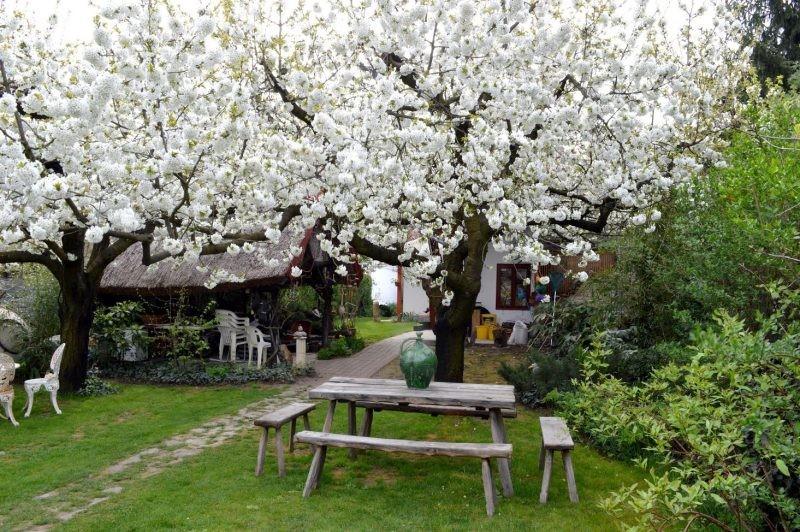 Cseresznyevirágzás Nagykörű